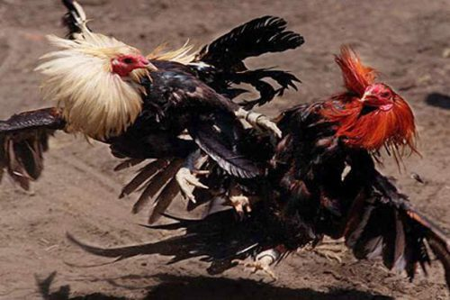 Cock-Fighting-in-Vietnam