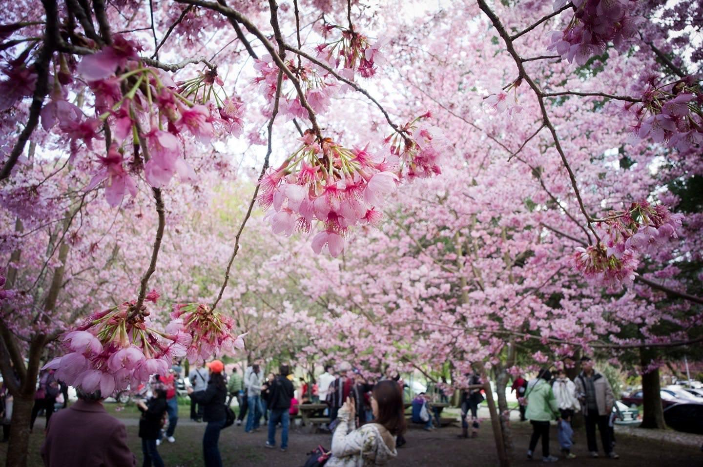 cherry blossom festival - HD1440×958